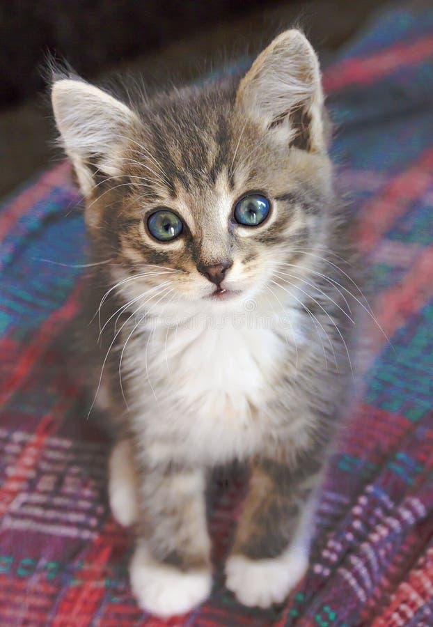 Grå färg-vit sitter stirrar den blåögda kattungen tyst och direkt in i kameran royaltyfri foto