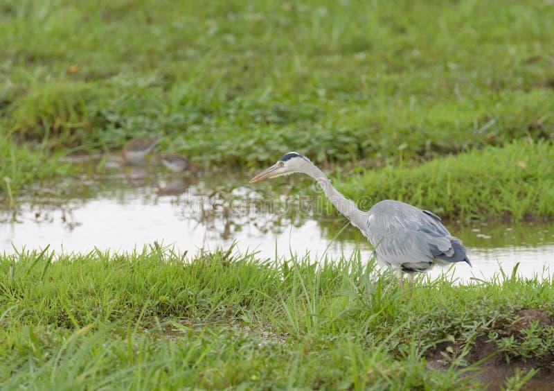 Grå färger eller Grey Heron royaltyfri fotografi