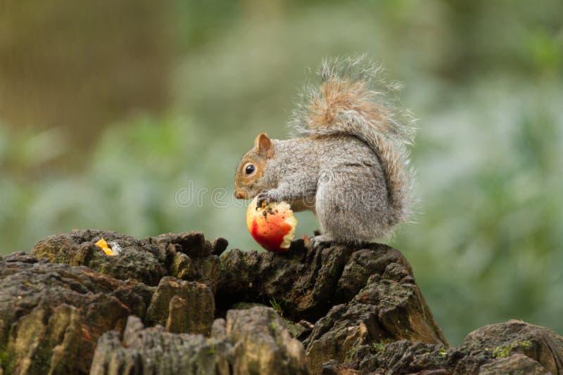 Grå färger gömma sig att äta ett rött äpple med den buskiga svansen arkivfoto