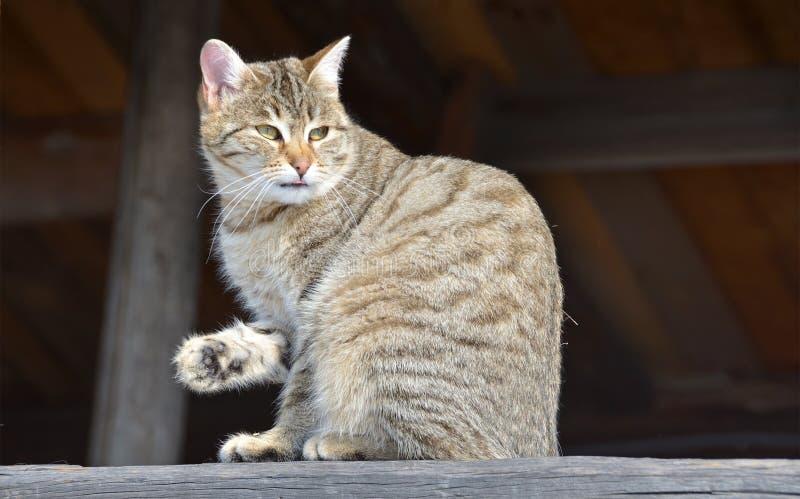 Grå färger gjorde randig washes för inhemsk katt på marschsolen arkivbild