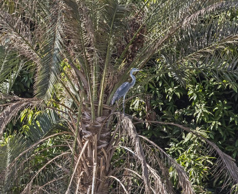 Grå färghägret stod på filial av trädet över floden arkivbild
