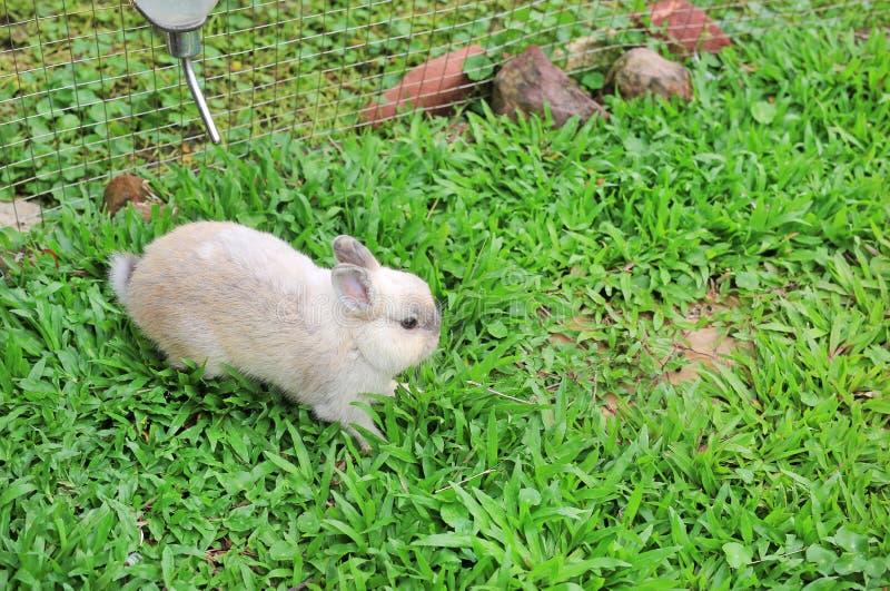 Grå fluffig kanin på trädgården för grönt gräs royaltyfria bilder