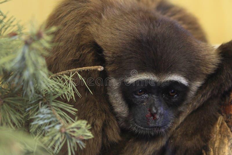 Grå gibbon arkivfoto