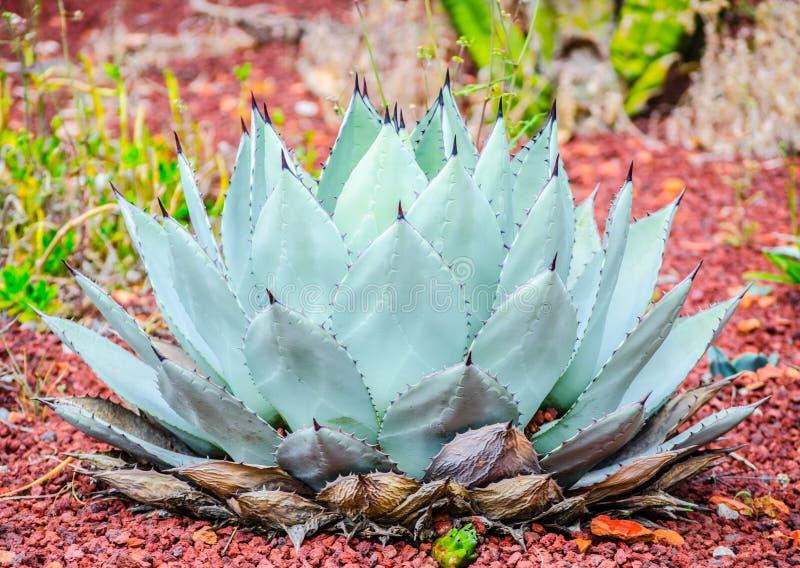 Grå grön Agaveflexispina på en tropisk botanisk trädgård royaltyfri foto