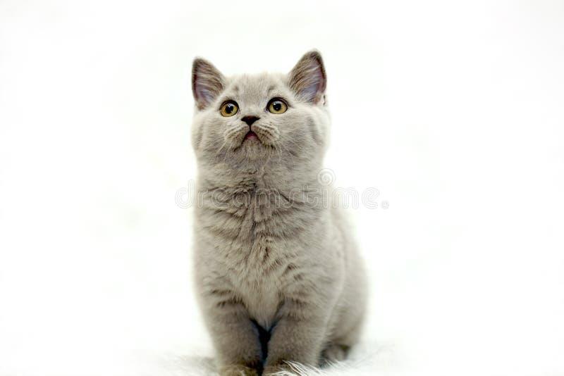 Grå gullig liten brittisk kattunge fotografering för bildbyråer