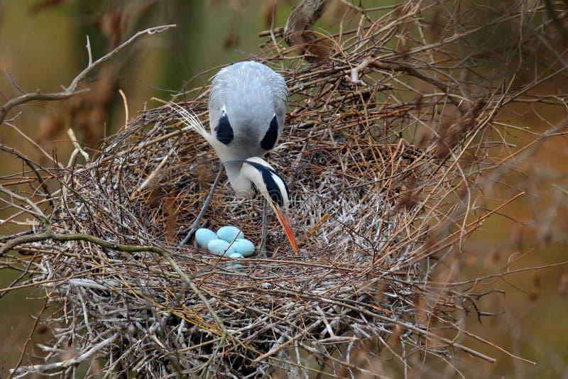 Grå häger, Ardea som är cinerea, i rede med fyra ägg som bygga bo tid royaltyfri fotografi