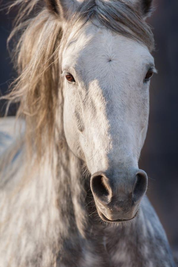 Grå häst i rörelse arkivfoto