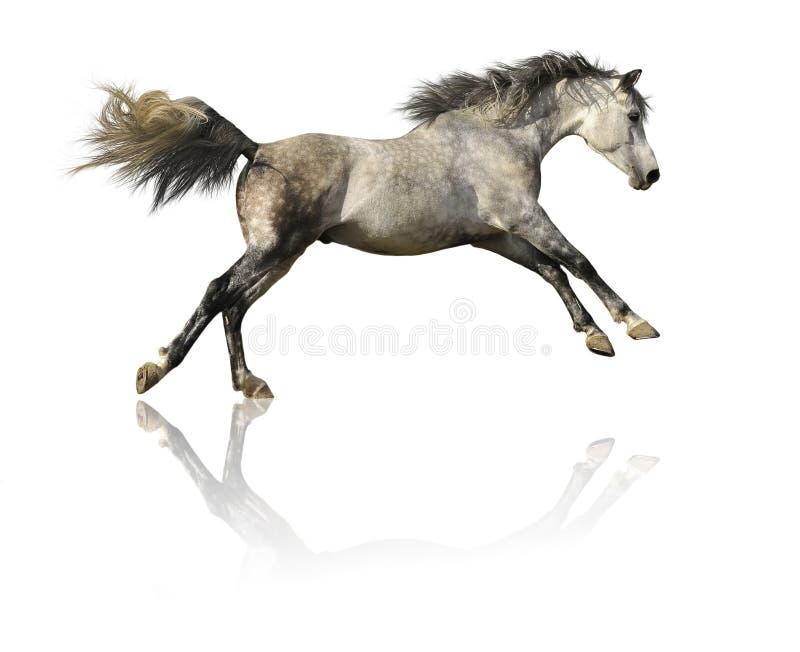 Grå Häst Isolerad White Royaltyfria Bilder