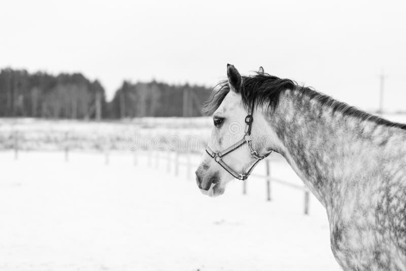 Grå häststående i vinter med kopieringsutrymme royaltyfri fotografi