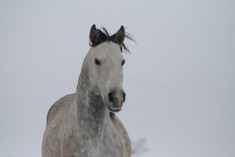 Grå häststående på en snölutningskulle i vinter Färgfoto av skuggor av grå färger fotografering för bildbyråer