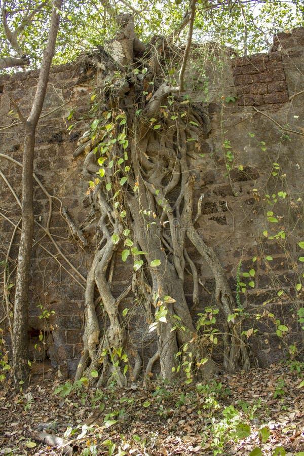 grå hög vägg av en forntida förstörd fästning som är bevuxen med ett banyanträd i den gröna djungeln royaltyfri bild