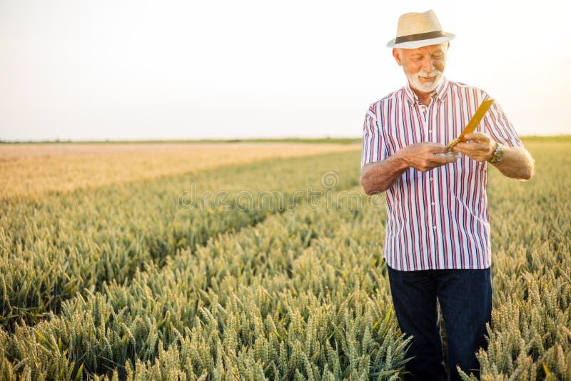Grå haired hög agronom eller bonde som mäter vetepärlor för skörden arkivfoton