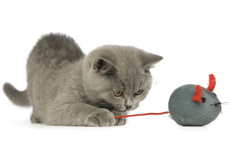 grå haired kortslutning för brittisk katt arkivfoto