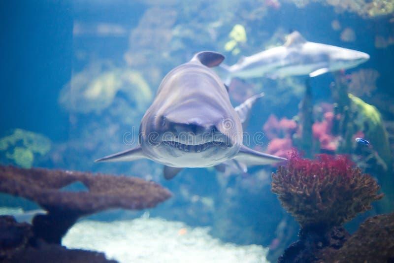 grå haj royaltyfri bild