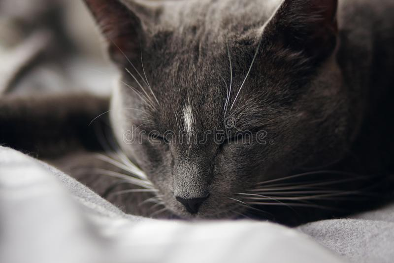 Grå hem- gullig katt som soundly sover fotografering för bildbyråer