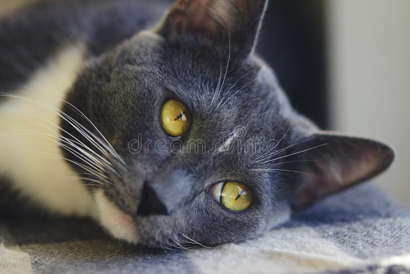 Gr? hem- h?rlig katt med gula ?gon royaltyfri fotografi