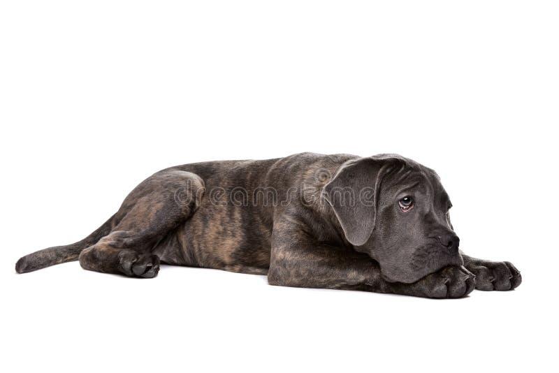Grå hund för rottingcorsovalp royaltyfri fotografi