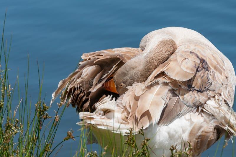 Grå inhemsk gås som gör ren dess fjädrar som ansar royaltyfria bilder