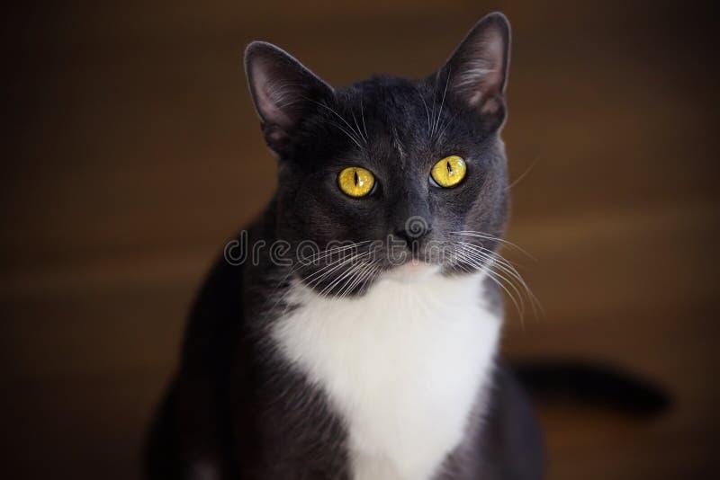 Grå inhemsk katt med ljusa gula ögon arkivbild