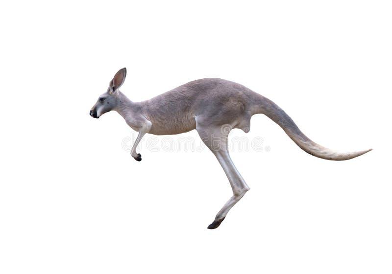 Grå kängurubanhoppning fotografering för bildbyråer