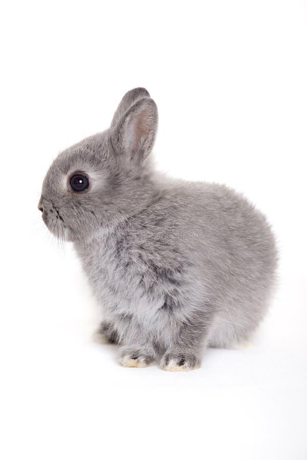 grå kanin arkivbilder