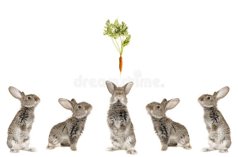 grå kanin fem arkivbilder