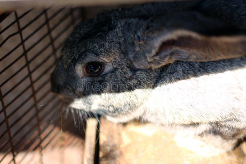 Grå kanin i en bur på lantgården arkivfoto
