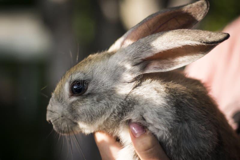 Grå kanin i händerna av en flicka royaltyfria bilder
