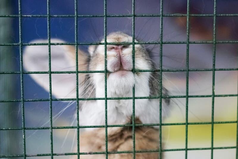 Grå kanin knaprar upp ett burslut royaltyfri bild