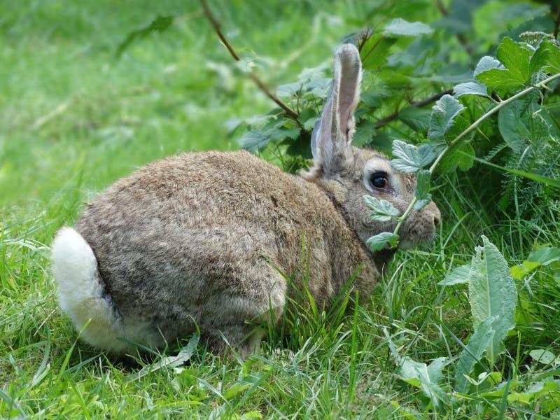 Grå kanin på naturen royaltyfri fotografi