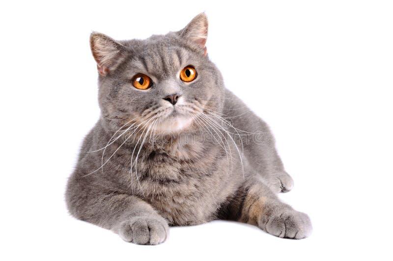 Grå katt royaltyfri foto