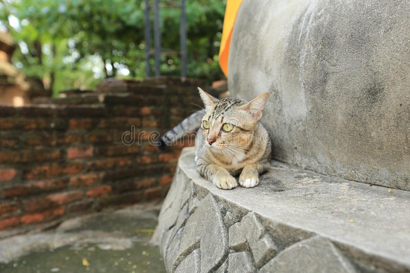 Grå katt med gula ögon i tempel royaltyfri foto