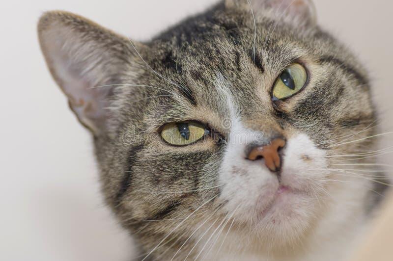 Grå katt med mörkerremsor, blickar på kameran med det stora gröna ögat royaltyfria foton