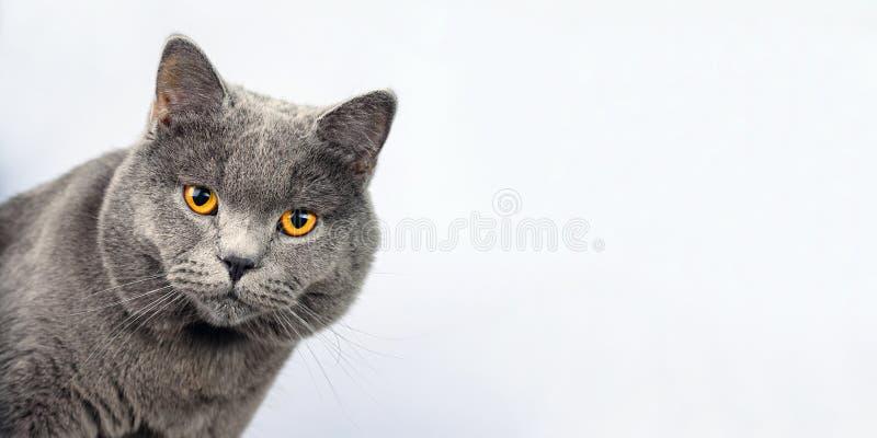 Grå katt på en vit bakgrund, skotsk rak kattblick in camera arkivfoto