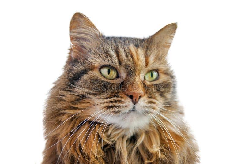 Grå katt som isoleras på vit bakgrund royaltyfri foto