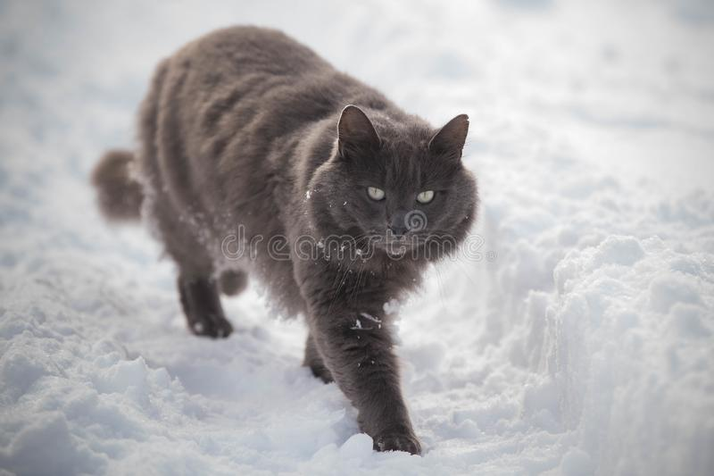 Grå katt som omges av snön royaltyfri bild