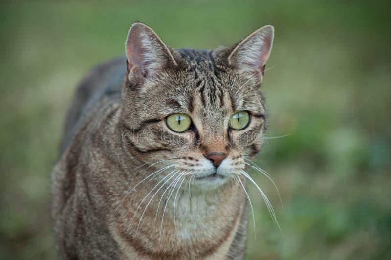 Grå katt som ser rov i en trädgård royaltyfri bild