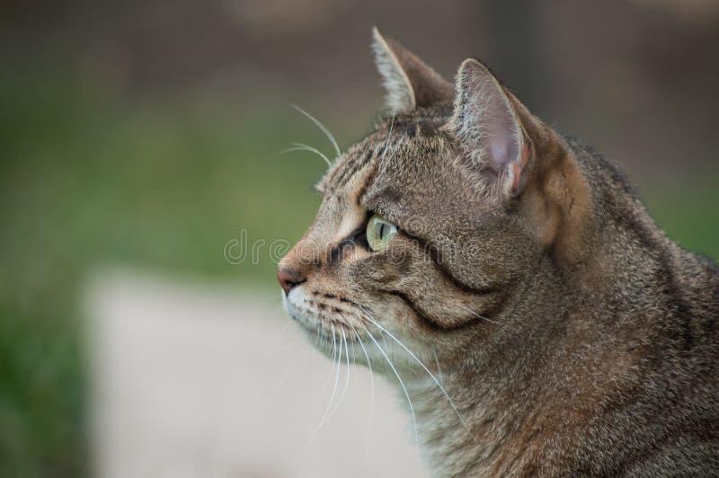 Grå katt som ser rov i en trädgård royaltyfria bilder