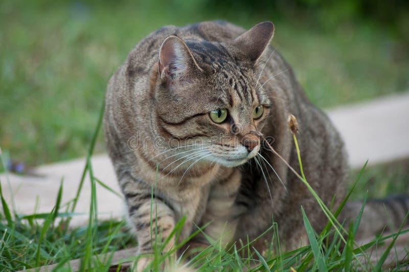 Grå katt som ser rov i en trädgård arkivfoton