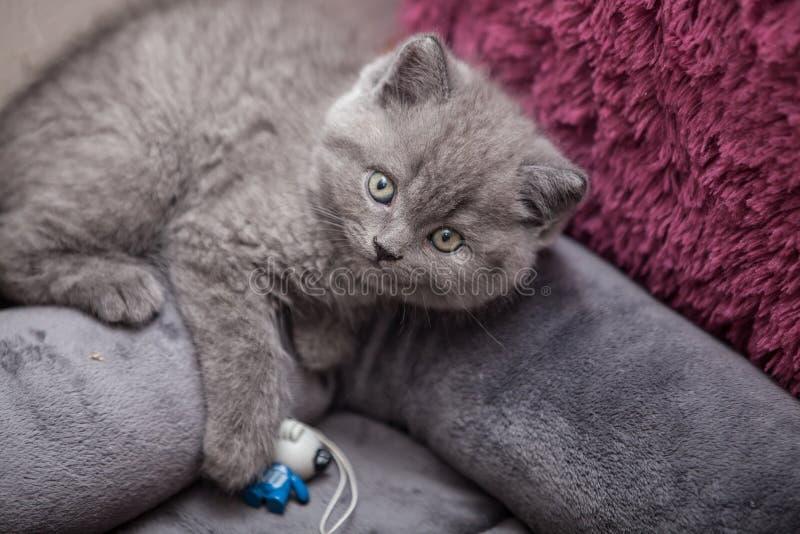 grå kattunge royaltyfri foto