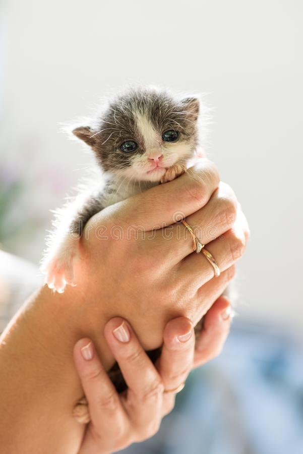 Grå kattunge i händer royaltyfri bild