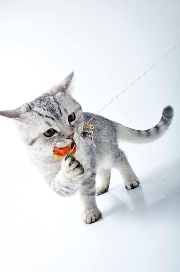 grå kattunge som leker skotsk white royaltyfria bilder