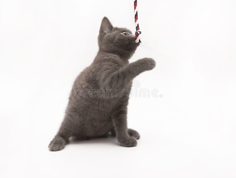 Grå kattunge som spelar med den isolerade rosa clewen royaltyfri bild