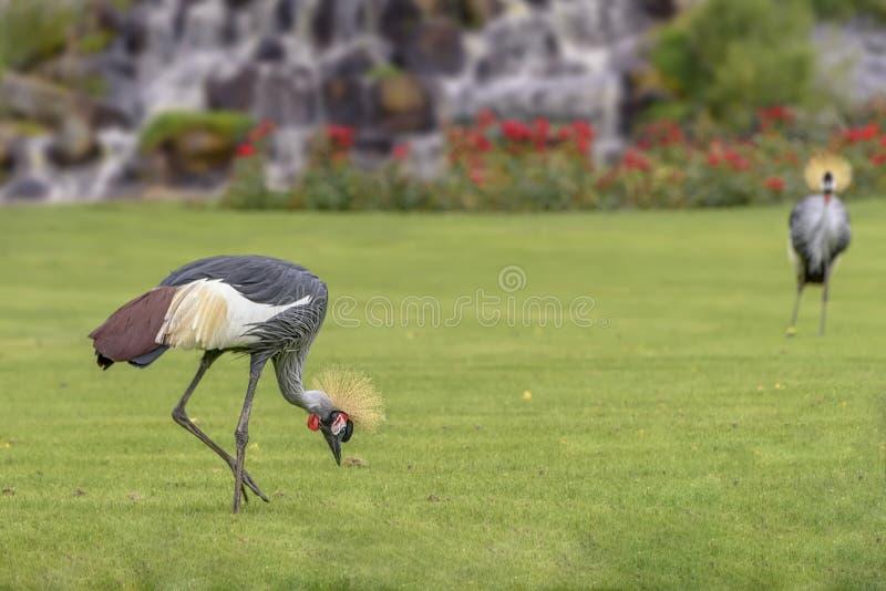 Grå krönad kran, Balearica regulorum, en fågel i kranfamiljen, Gruidae på fältet arkivbild