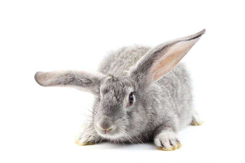 Grå liten fluffig kanin som isoleras på vit bakgrund arkivbilder