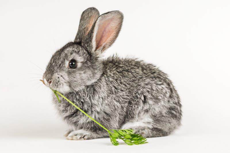 Grå liten kanin biter en morot på en vit bakgrund royaltyfria foton