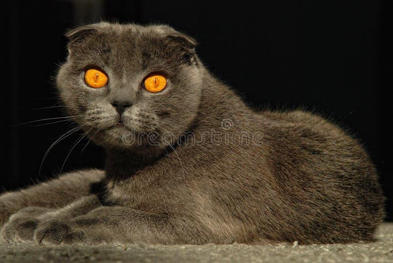 grå liying scotitish för kattveck royaltyfria foton