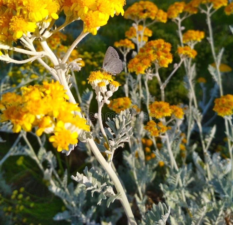 Grå mal på små gula blommor arkivfoto