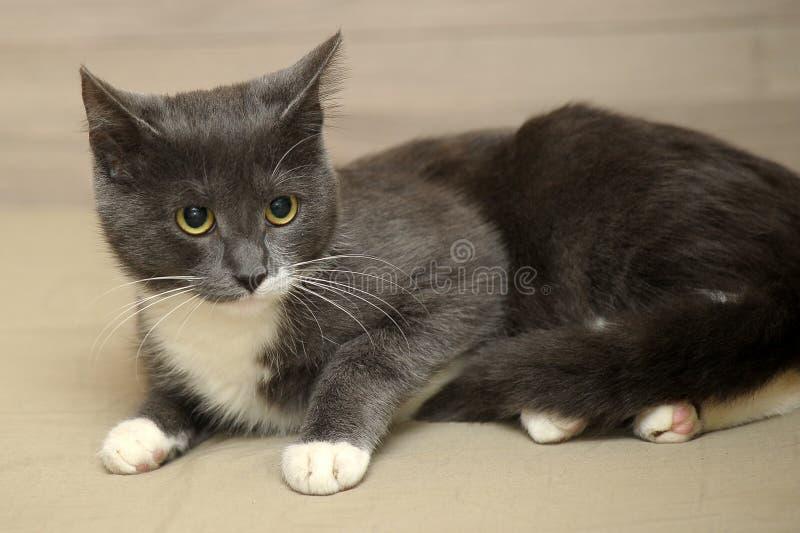 Grå med vit katt arkivfoton