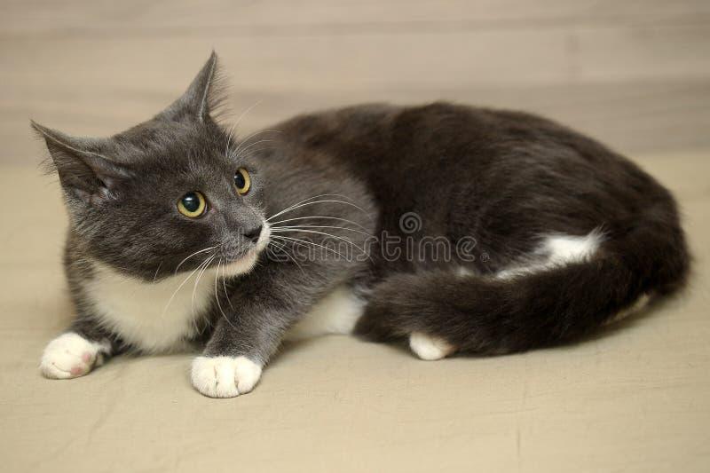 Grå med vit katt fotografering för bildbyråer